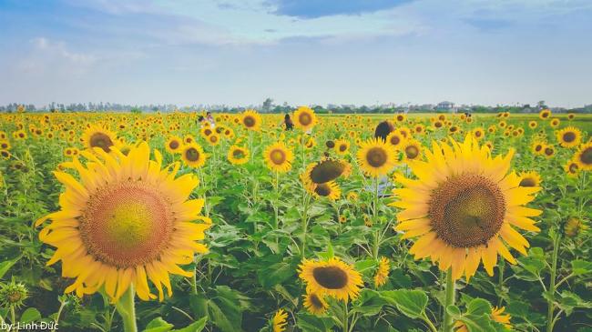 Hoa tại đây cao ngang người lớn, bông nở lớn và được trồng thành hàng lối. Ảnh: Linh Đức